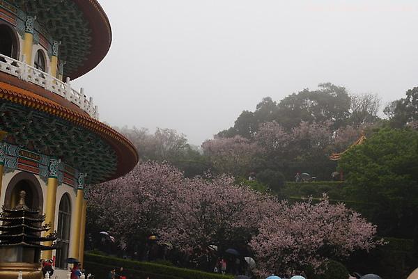 Tian_yang_sakura0061.JPG
