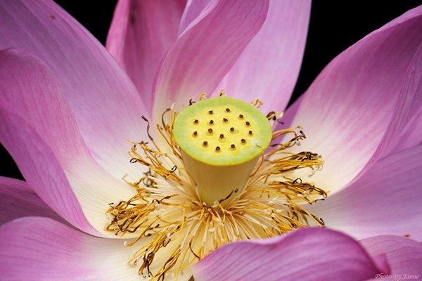 10_lotus_0001.JPG