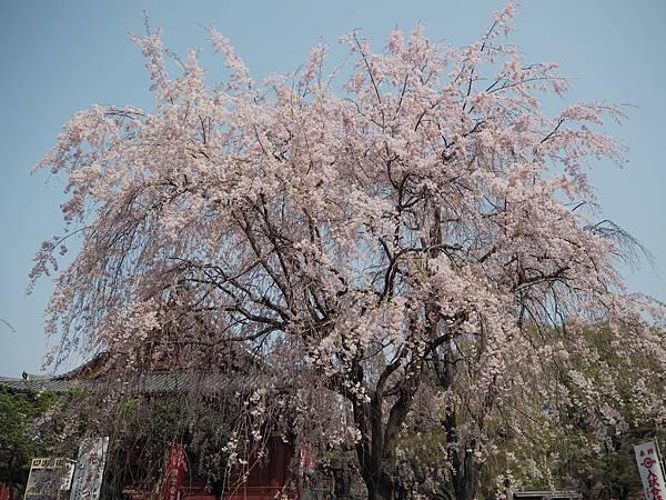 180403-1 上野恩賜公園 (4).JPG