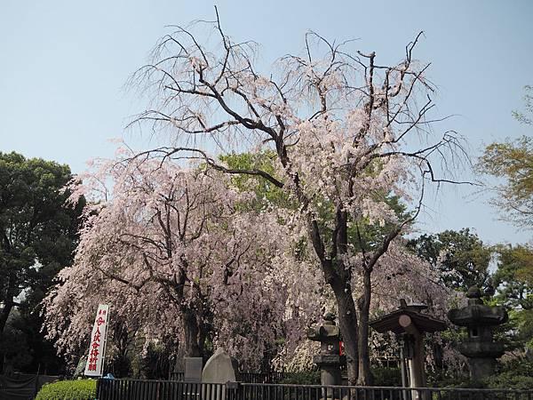180403-1 上野恩賜公園 (6).JPG