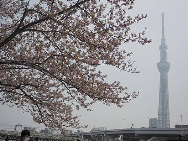 180403-2 淺草隅田公園 (9).JPG