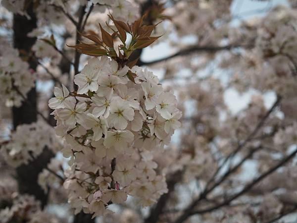 180403-4 濱離宮恩賜庭園 (9).JPG