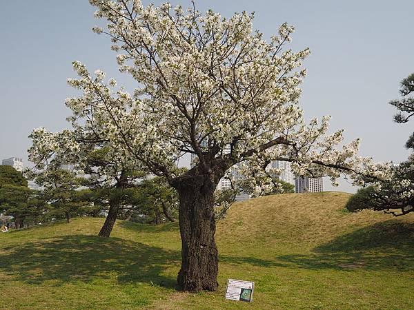 180403-4 濱離宮恩賜庭園 (23).JPG