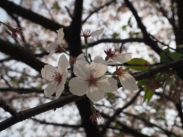 180403-4 濱離宮恩賜庭園 (49).JPG