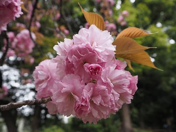 180405-4 清澄庭園 (37).JPG