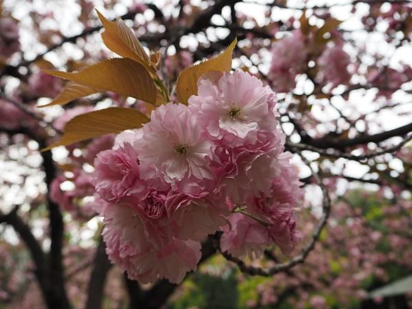 180405-4 清澄庭園 (38).JPG
