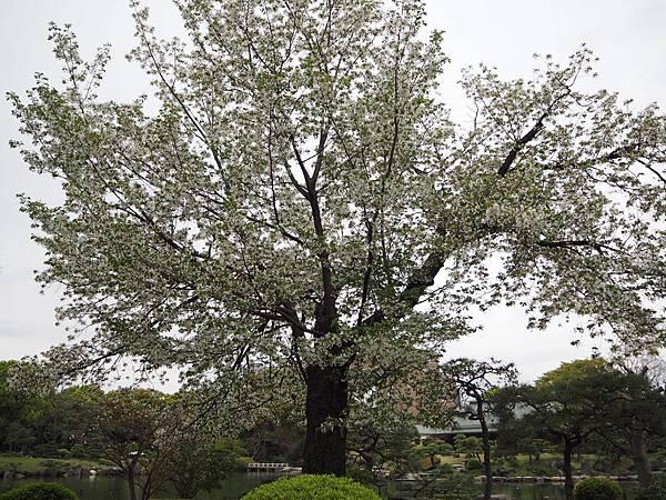 180405-4 清澄庭園 (47).JPG