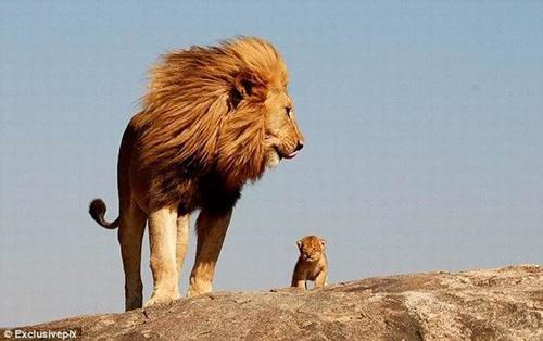 100811真實版獅子王 雄獅帶兒子到丘陵上觀望