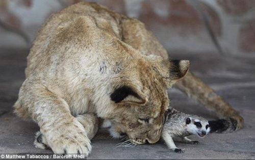 100918真實版辛巴與丁滿! 小獅子抱狐獴一起睡午覺