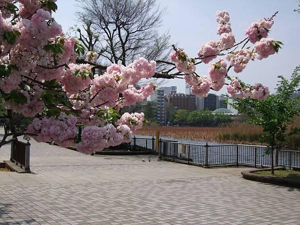 110427上野公園櫻花