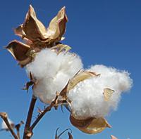 cotton revised