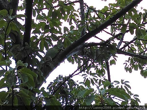 農16被棄養的綠鬃蜥