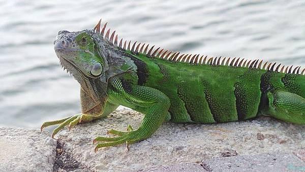 iguana-3584049_640.jpg
