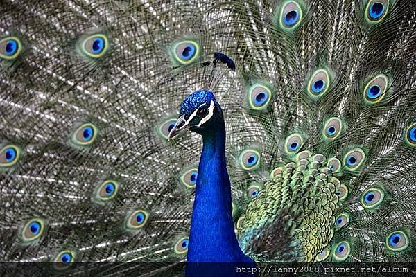 peacock-3499230_640.jpg