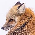 red-fox-2230730_640 (1).jpg