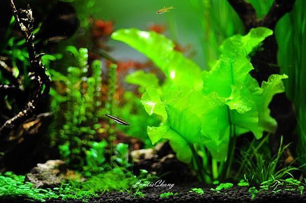 2012.07.31 (10)-我的水草缸.JPG