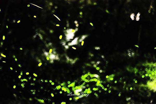 2011.05.10-D90-A16-麒麟潭螢火蟲  (5).jpg
