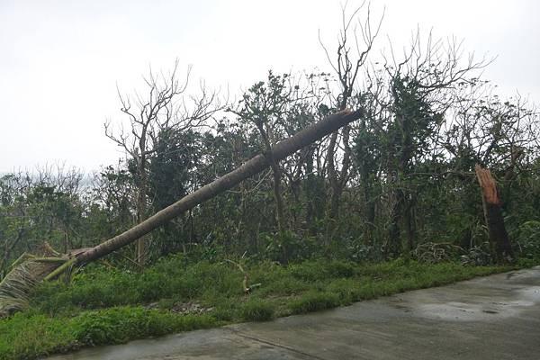 野銀往東清被吹斷的椰子樹.JPG