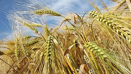 barley600