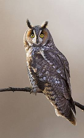 -long-eared-owl-mircea-costina-photography