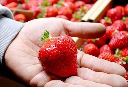 Amaou,約為一般草莓品種的1.2倍大