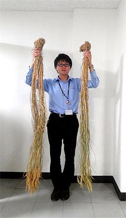 雄町米植株高度比例尺(男子身高為170cm)