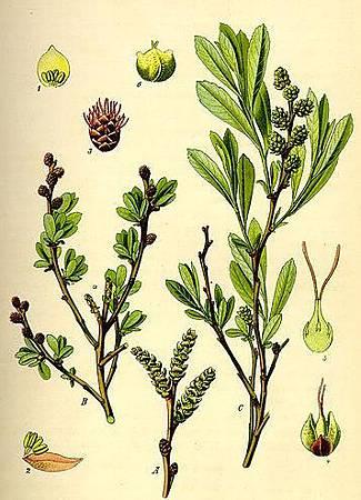 香楊梅 (Myrica gale L.)