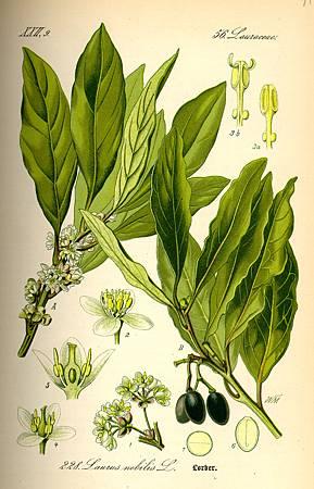 月桂(Laurus nobilis L.)