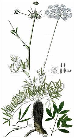 防風(Laserpitium siler L.)