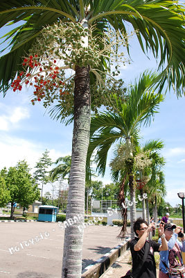 99.6.7-1st day of Sabah-042-清真寺旁檳榔樹.jpg