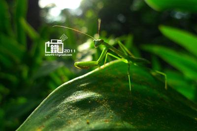螳螂4-1.jpg