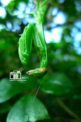 螳螂2-1.jpg