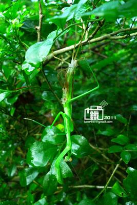 螳螂1-1.jpg