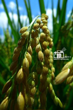 稻1-1.jpg