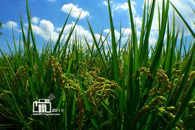 稻2-1.jpg