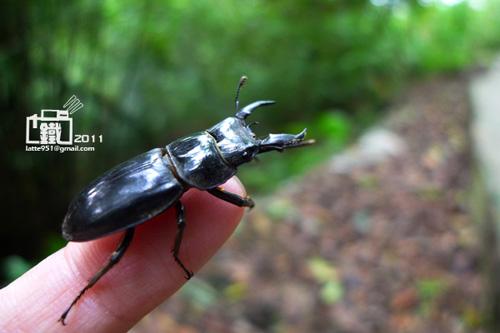扁鍬形蟲雄1-1.jpg