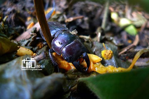 扁鍬形蟲雄3-1.jpg