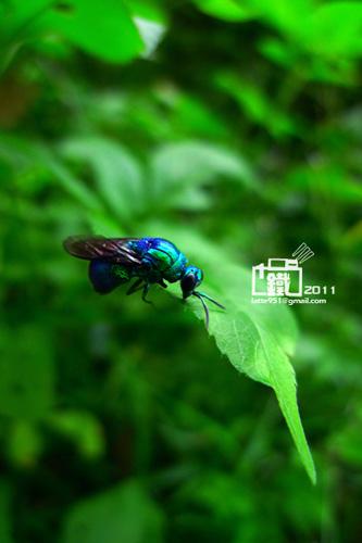 大綠青蜂(Stilbum cyanurum)2-1.jpg