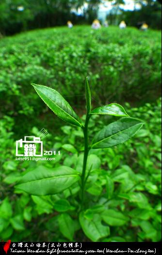 台灣文山茶1-1.jpg
