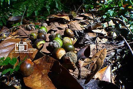 短尾葉石櫟1.jpg