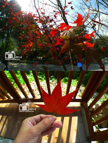 楓紅2-1.jpg