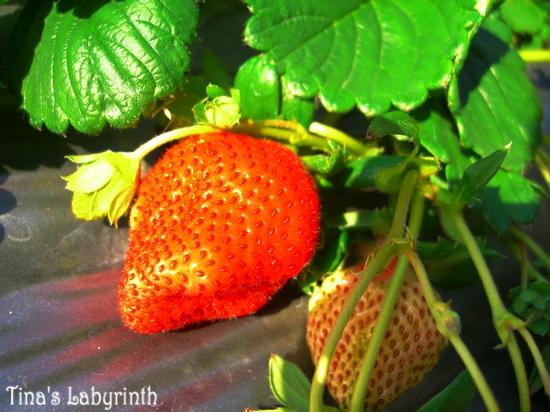 20100116大湖採草莓_08.jpg