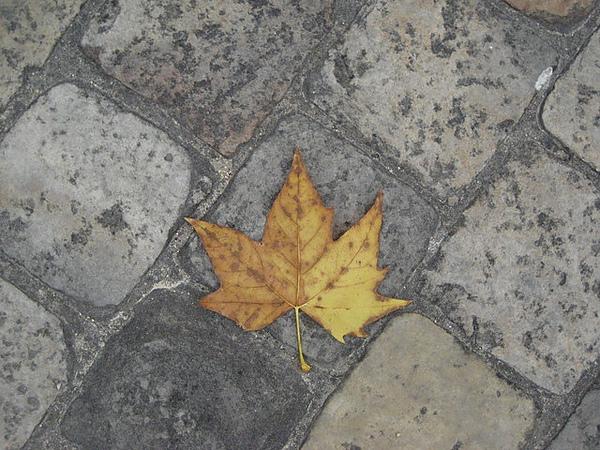 突然覺得躺在地面的楓葉也很美