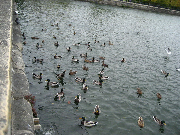 湖上的野雁