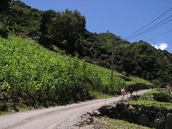 山坡上的玉米田
