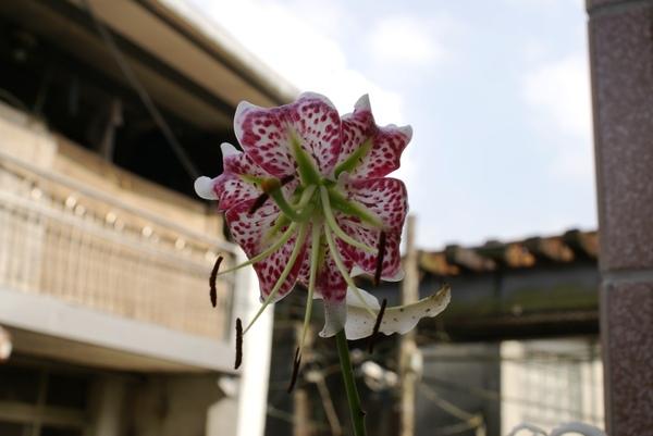 平溪鄉的鄉花