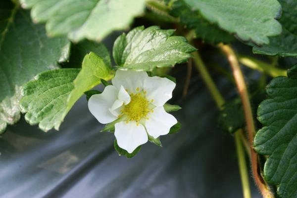 草莓花 -.-