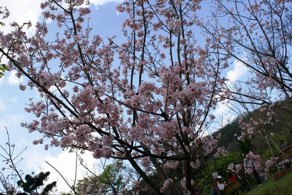 櫻花在藍天下綻放