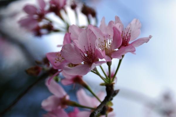 美麗的櫻花-2
