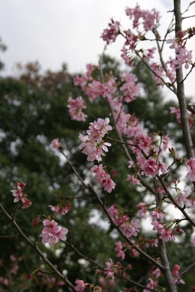 美麗的櫻花-3
